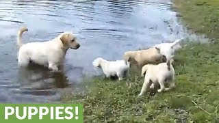 Labrador father teaches his puppies to swim