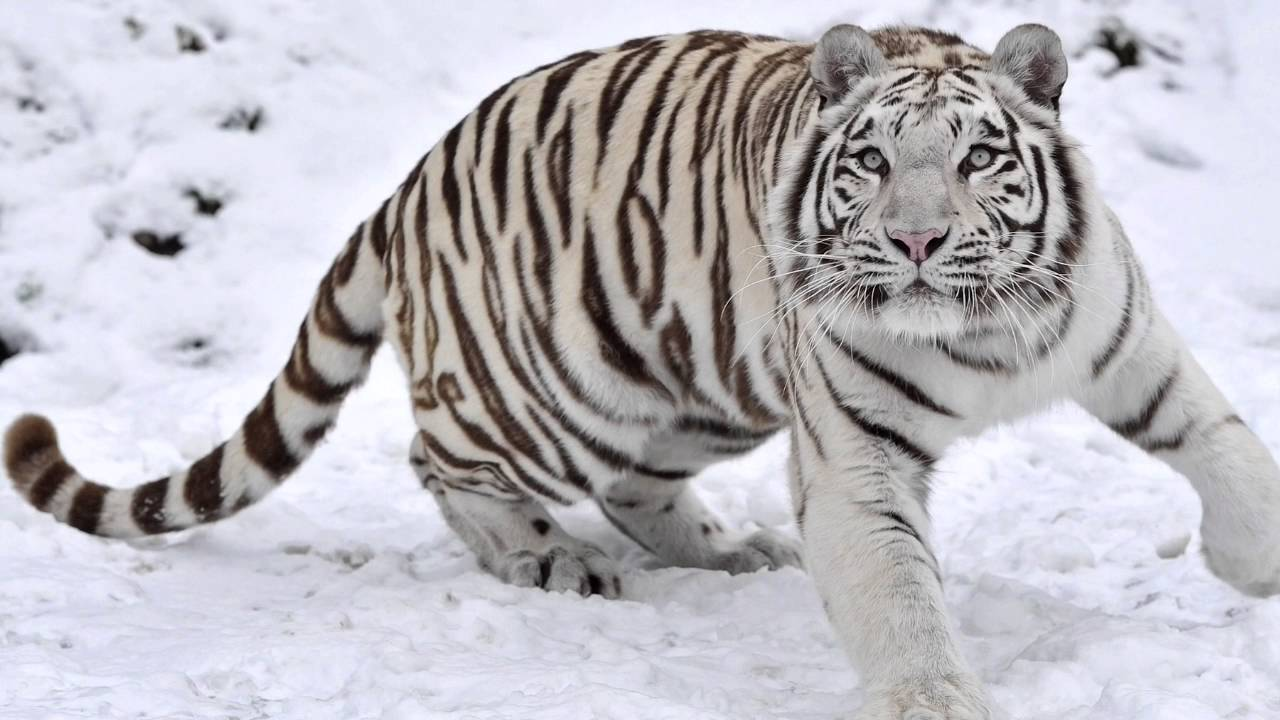 are bright white tigers endangered