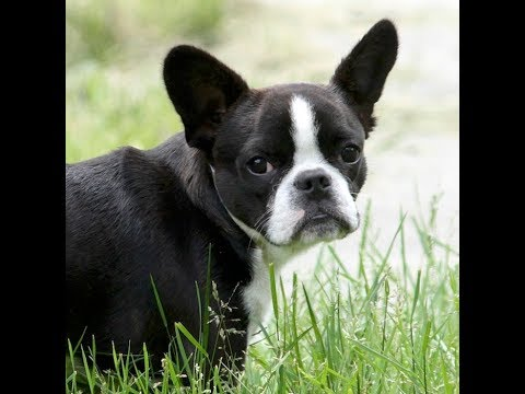 Royal Frenchel, Hybrid Designer Breed French Bulldog Mix