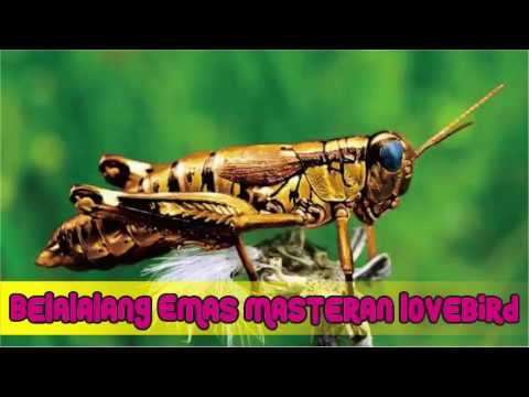 Suara Belalang Emas untuk Masteran Lovebird