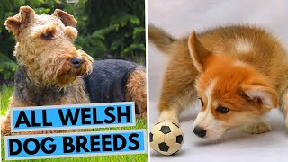 All Welsh Dog Breeds List