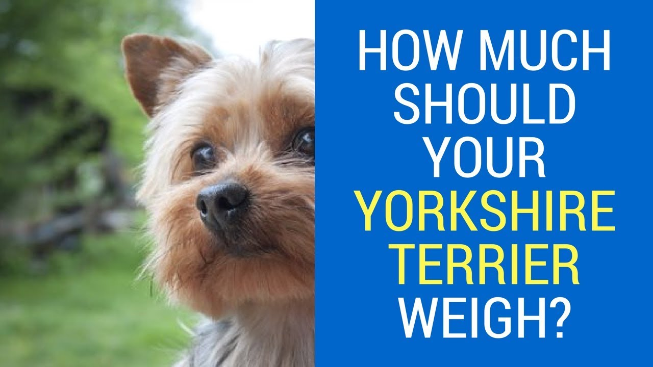 How much should your yorkshire terrier weigh youtube how much should your yorkshire terrier weigh nvjuhfo Choice Image