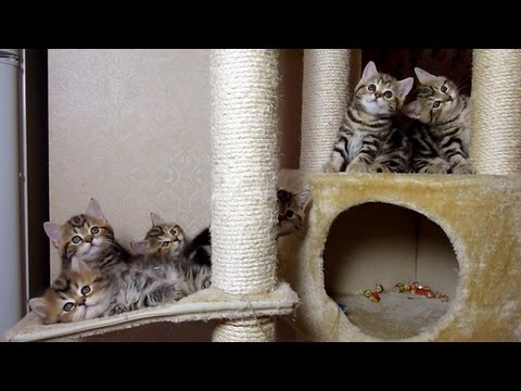 Chorus Line of Cute Kittens rehearses .  Funny Cats and Cute Kitten