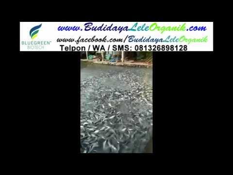 Jual Obat Ikan Lele Stres Kurang Nafsu Makan Menggantung Kota Semarang Bluegreen Biotech Tokopedia
