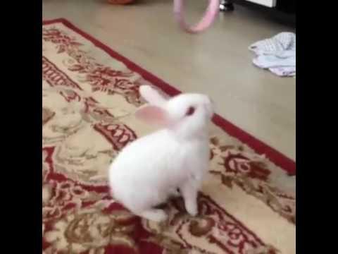 Ev tavşanı