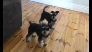 Minature Schnauzer Tailwagging Competition