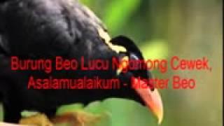 Burung Beo Lucu Ngomong Cewek, Asalamualaikum   Master Beo