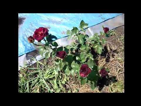 Розы чайно гибридные. Мои ошибки при выращивании роз. Роза чайная