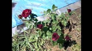 видео Чайно-гибридные розы