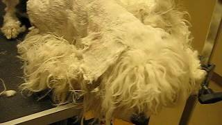 Winnie Matted Dog Groom Video 2 of 4