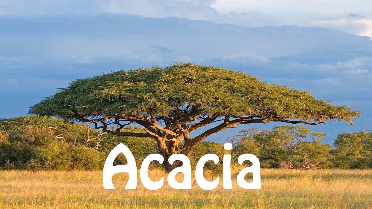 Acacia - Wikipedia