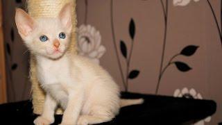котята питомника Корнелита-игра в салочки-догонялочки