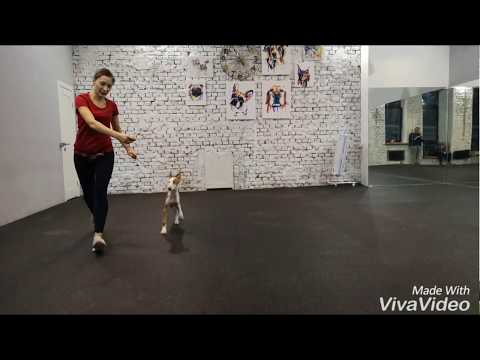 Хендлинг обучение щенка поденко ибиценко (ивисская борзая). Podenco Ibicenco handling. Ibizan hound.