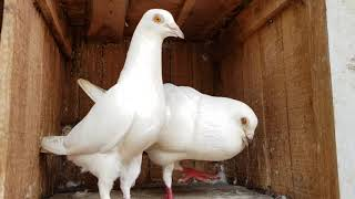 My Main Madrasi Pigeon Breeders