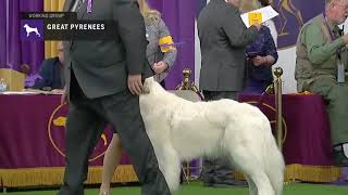 Great Pyrenees | Breed Judging 2019