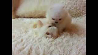 Micro Teacup Pomeranians For Sale Itsy Puppy Www.itsypuppy.com