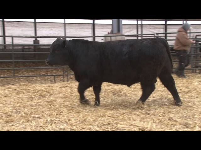 Schiefelbein Angus Farms Lot 348