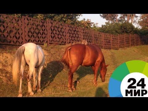 Выносливые и добрые: в КБР возрождают утраченную породу лошадей - МИР 24