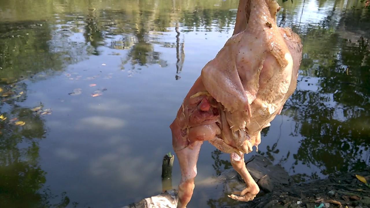 Catfish VS chicken –  Khủng khiếp bầy cá rỉa con gà lòi xương trong phút chốc