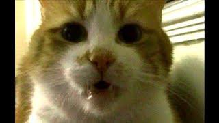 お喋りが止まらないもーれつ猫!笑えるジャンプをご披露 ♥♥猫との会話を楽しむ動画 Conversation with a cat
