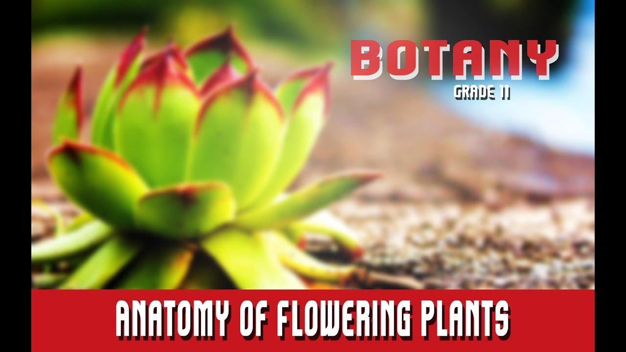 Botany Grade 11 | Morphology Of Angiosperms | Internal Morphology Or ...