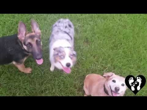 Reactive mini Australian Shepherd Cooper learning manners with Houston dog training
