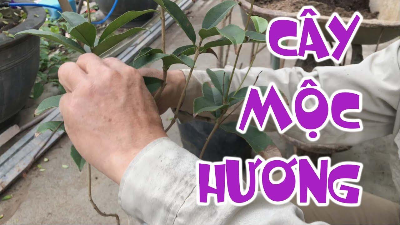 [282]. Hướng dẫn chăm sóc cây Mộc Hương - CÂY CẢNH CHỢ HÀNG