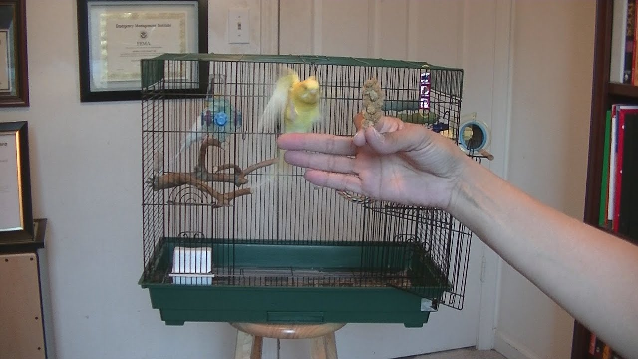 how to train a parakeet to fly to you