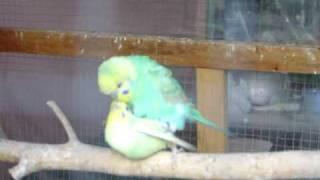 Parakeets Mating