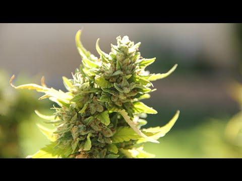1 Year Old Marijuana Plant (Jack Herer)