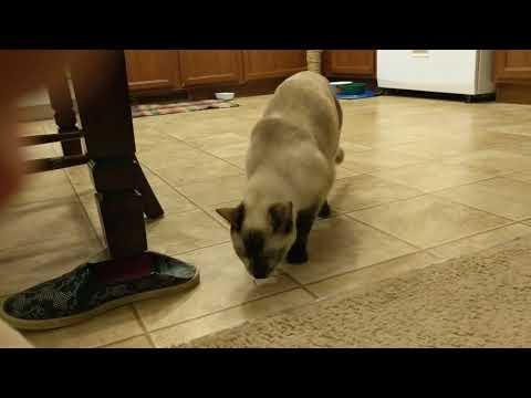 Siamese cat plays fetch
