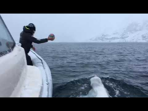 Tim Palmer - Playing Fetch With A Beluga Whale