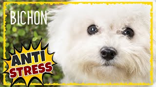 BICHON FRISE Chakra Music for Dogs ~ Dog Healing Music ~ Separation anxiety music for dogs