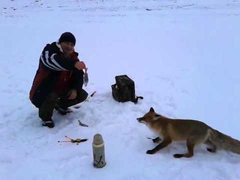 лису кормят рыбаки