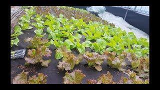 가을 상추 텃밭과 상자에 심으세요. 품종과 상추 따는방법,재배방법