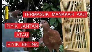 Unduh 72 Foto Gambar Burung Merpati Jantan Dan Betina HD  Gratis