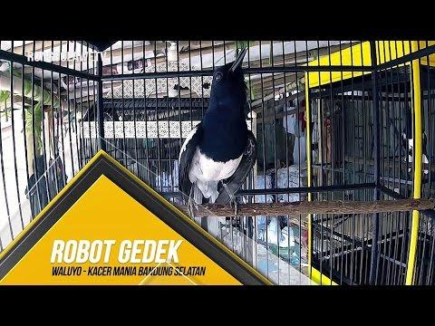 BRANDY WATCH : Aksi Kejam Robot Gedek Habisi Kacer Gacor Ngerol Panjang