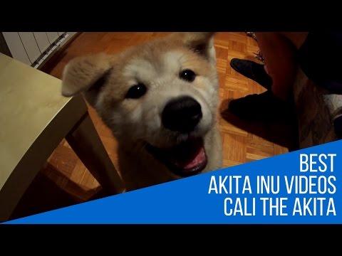 Best Dog Breed Akita Inu Puppy