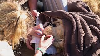 Daniel Lion's Health Check at Turpentine Creek Wildlife Refuge