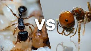 БАТЛ МУРАВЬЕВ! Messor vs Tetramorium - какие муравьи окажутся агрессивней?