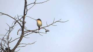 India Birding - Ashy Prinia - Ashy Wren Warbler Sony HX100