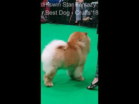 Chow-chow Hiswin Star Fantazy, r.Best Dog Crufts'18