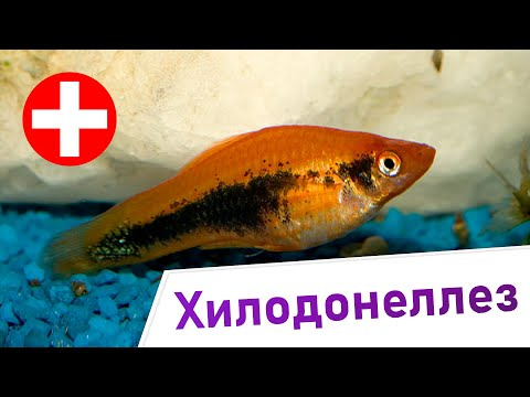 Хилодонеллез - Симптомы и лечение. Инфузории рода Хилодонелла.