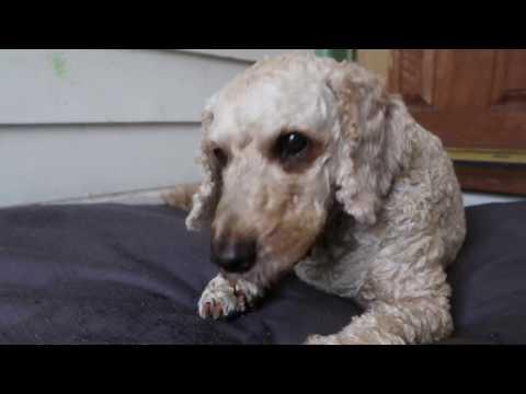 HOKI - Blue Grenadier 100% Australian Healthy Dog treats eaten by  Archie Dog!