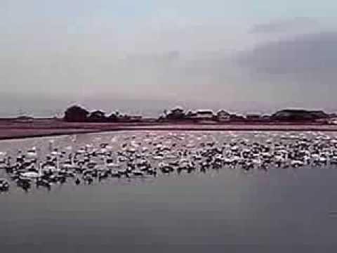 20140101-3印西市本埜のハクチョウ白鳥スワンSWANS