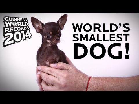 worlds smallest dog guinness world records 2014 youtube