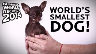 World's Smallest Dog! - Guinness World Records 2014