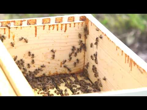 Harvesting Honey from Beehives at the West Bend Country Club in West Bend, WI