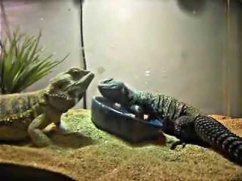 Dragon Barbu et Uromastyx du Niger - YouTube