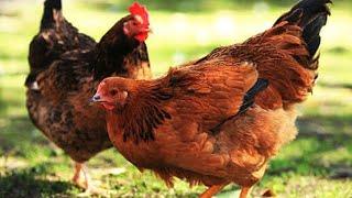 ¿Cuánto viven las gallinas?